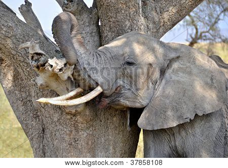 Adult Elephant Scratching Himself Against Tree