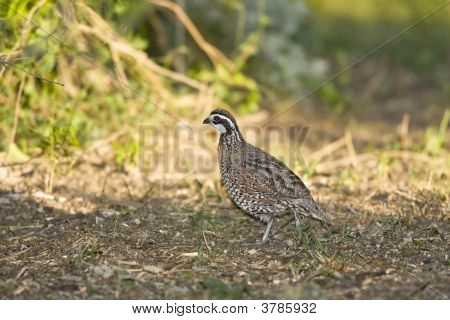 Northern Bobwhite Quail Foraging In A Field