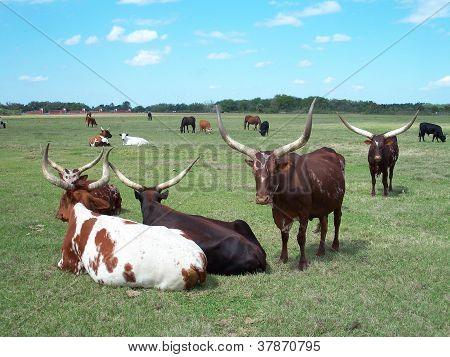 Longhorn cattle bulls