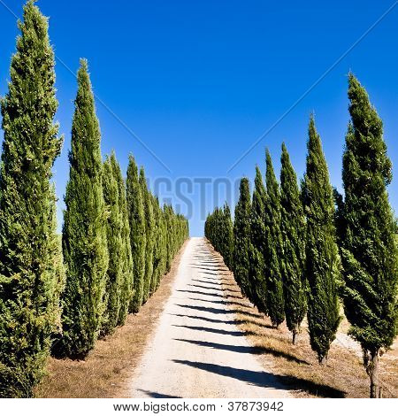 Empty Tuscan Cypress Road