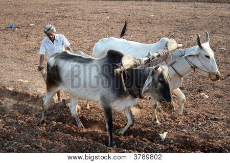 Indian Punjabi Farmer