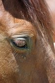 image of tear ducts  - Flies biting a horse and sucking the moisture from the tear ducts - JPG