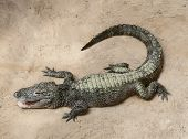picture of alligator baby  - A baby crocodile resting on the sand - JPG
