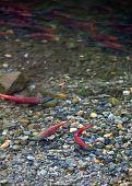foto of spawn  - spawning kokanee salmon in fresh water streem - JPG