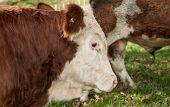 picture of hereford  - Close up of Hereford Cattle breed - JPG