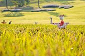 stock photo of hobgoblin  - Scarecrows on the rice field with selected focus - JPG