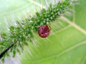 picture of foodchain  - Brown Red Ladybird insect feeding on a green leaf - JPG