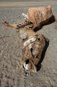 foto of corpses  - The corpse of a horse in the steppes of Mongolia - JPG
