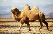 stock photo of nomads  - Bactrian camel in the steppes of Mongolia - JPG