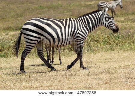 Common Zebra Walking