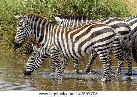 Group Of Zebras Drinking