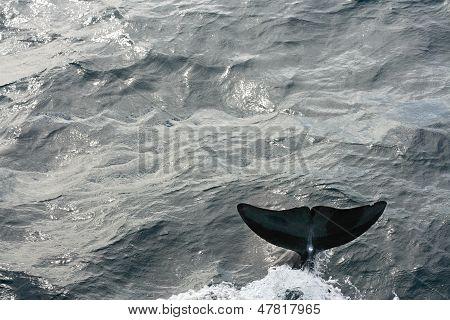 Dolphin Flipper