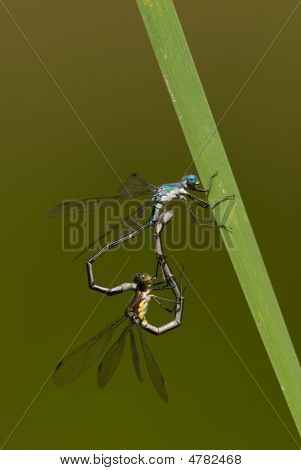 Damselflies Mating