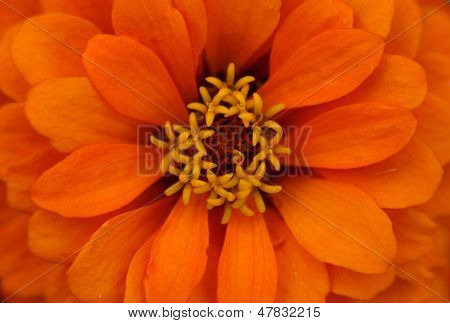 Extreme close up shot of orange  zinnia flower
