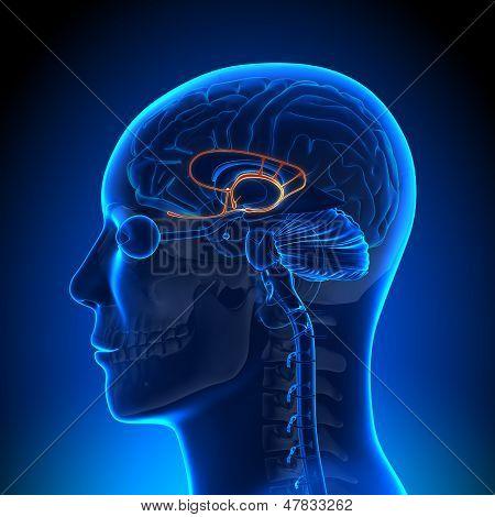 Gehirn Anatomie - limbischen System