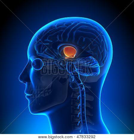 Brain Anatomy - Hippotalamus