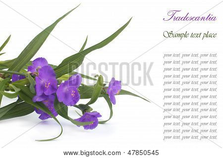 Blue spiderwort flowers isolated on white