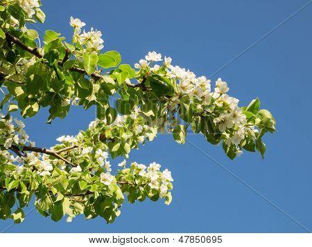 Crohn blooming blooming pear in spring