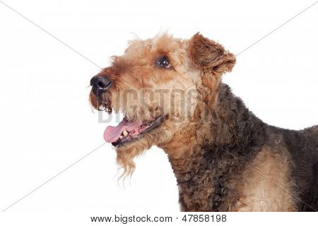 Nice airedale terrier breed dog isolated on white background