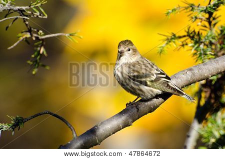 Pine Siskin Perched In Autumn