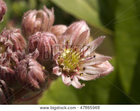 Common houseleek blooming
