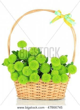 Beautiful green chrysanthemum in wicker basket isolated on white