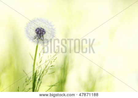 Beautiful white dandelion flower close-up