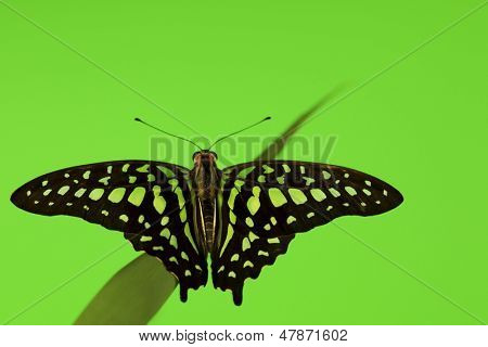 Graphium on green grass close up