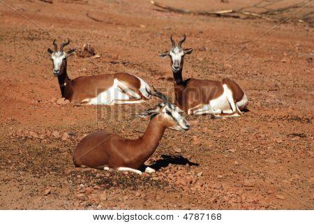 Mhorr Gazelles