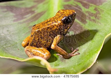 orange poison dart frog from the Amazon rain forest in tropical Ecuador exotic poisonous animal Oophaga sylvatica or Dendrobates sylvaticus
