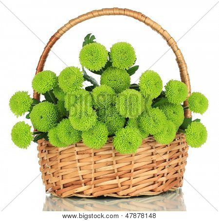 Beautiful green chrysanthemum in wicker basket isolated on white
