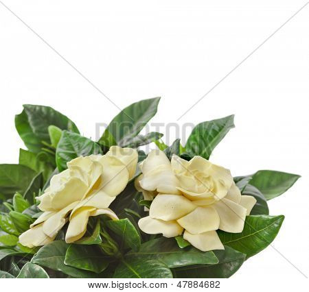 gardenia plant close up isolated on white background