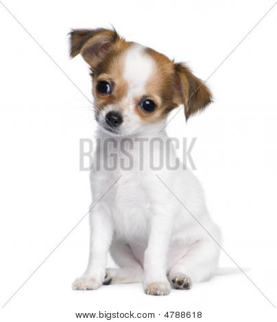 Chihuahua (3 Moths)