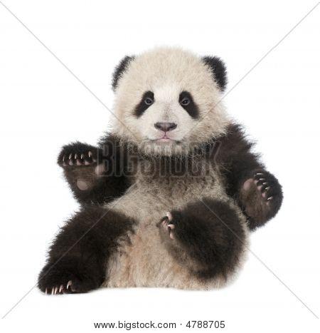 Giant Panda (6 Months Old) - Ailuropoda Melanoleuca