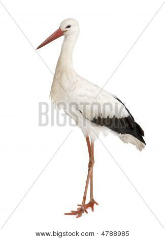 White Stork - Ciconia Ciconia (18 Months)