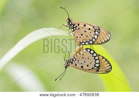 Tawny Coster butterflies mating