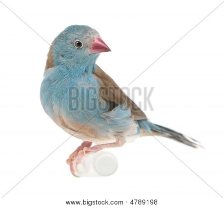 Blue-breasted Cordon-bleu - Uraeginthus Angolensis