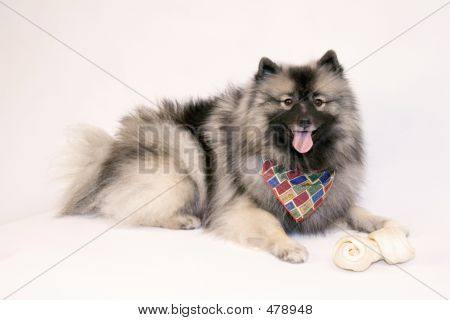 Female Keeshond With Scarf And Bone