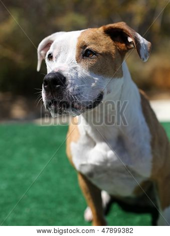 Portrait of a red and white dog