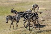 Group Of Common Zebras