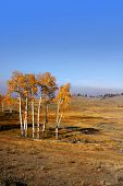 image of lamar  - Aspen trees in Yellowstone park Wyoming - JPG