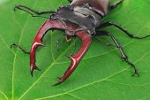 foto of exoskeleton  - Brown stag beetle Lucanus cervus the largest european beetle - JPG