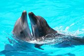 stock photo of oceanography  - Two lovers dolphin swimming in the pool - JPG