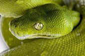 image of green tree python  - green tree python  - JPG