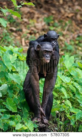 Bonobo  Cub And Mother.