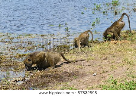 three baboons