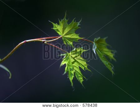 Small Leaves Of A Maple - 1