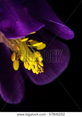 Purple Columbine Stamen
