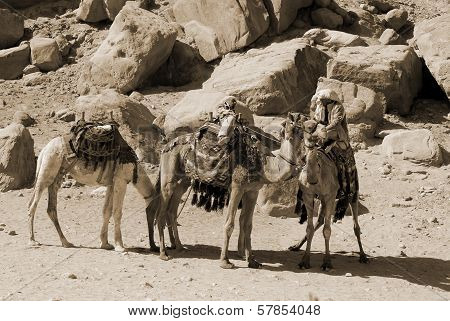 Man looks for tourists for camel rides