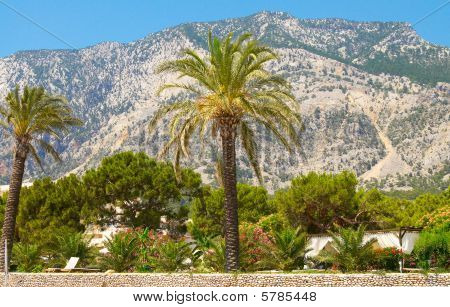 High Palm Growing In  Front Beautiful Mountains.
